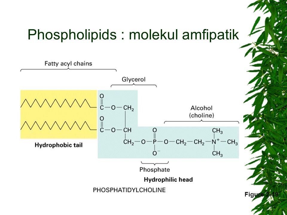 Phospholipids : molekul amfipatik