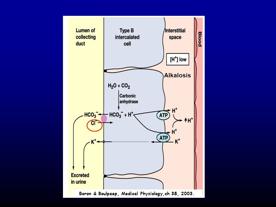 Boron & Boulpaep, Medical Physiology,ch 38, 2003.