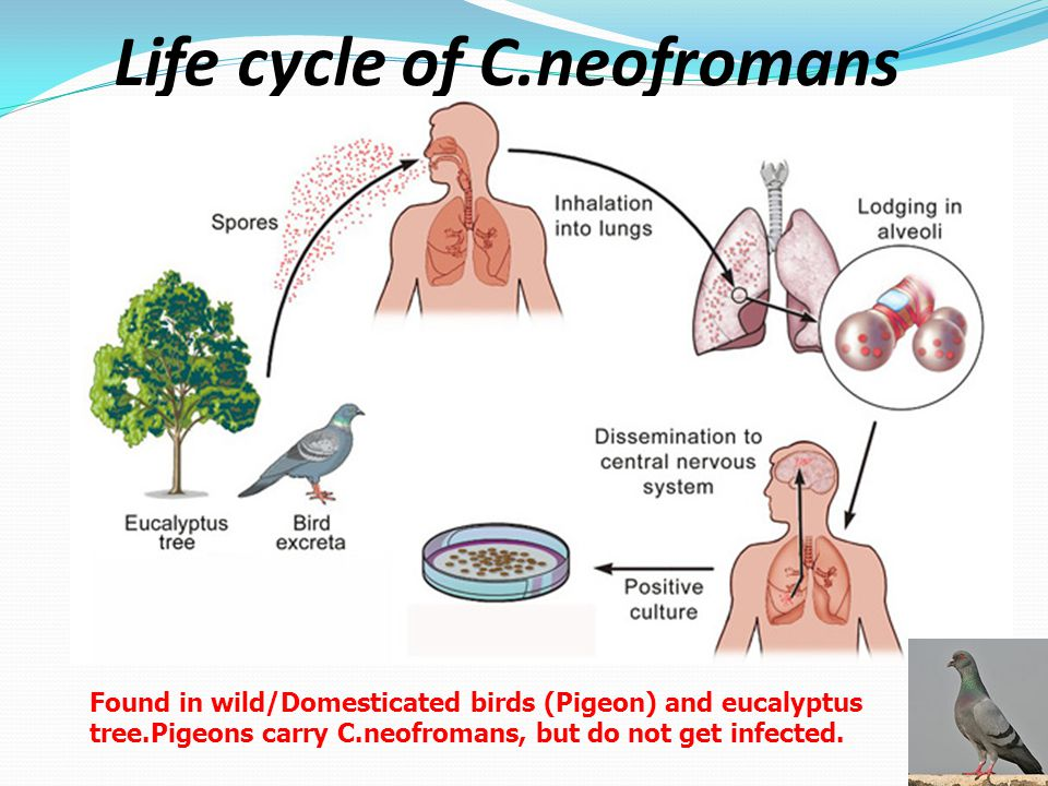 Life cycle of C.neofromans