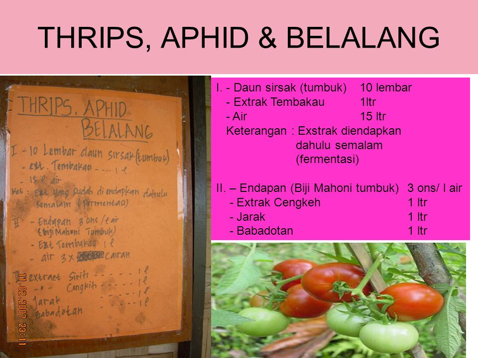 THRIPS, APHID & BELALANG