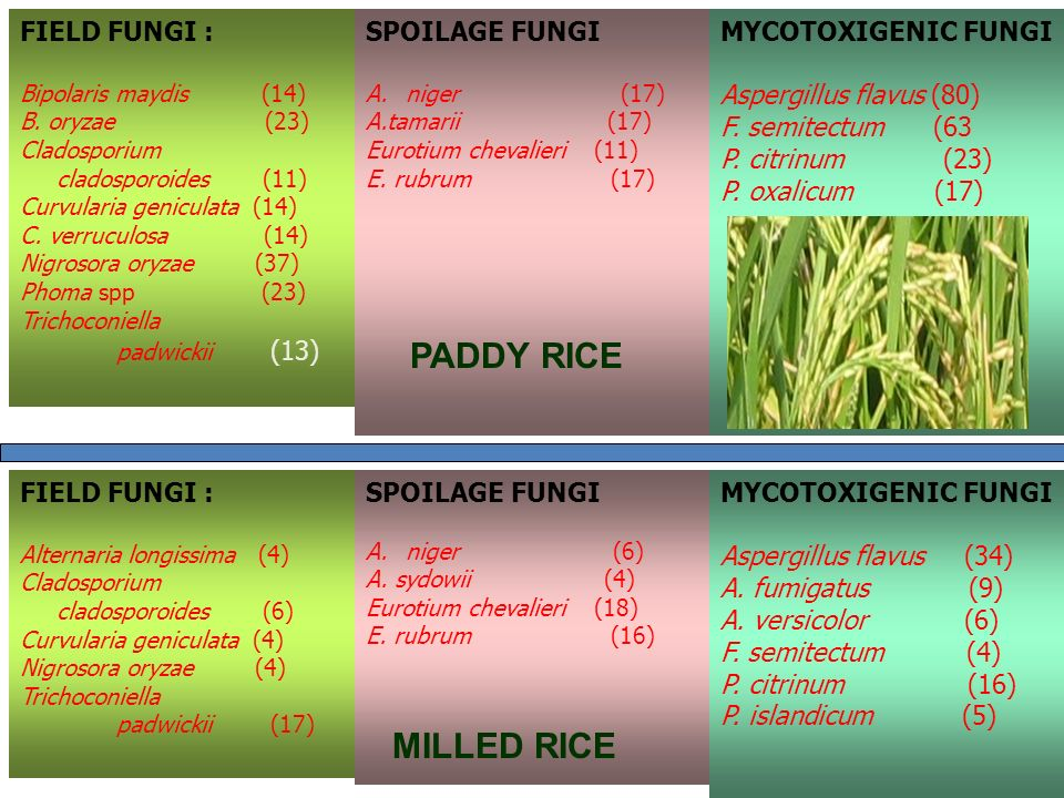PADDY RICE MILLED RICE FIELD FUNGI : SPOILAGE FUNGI