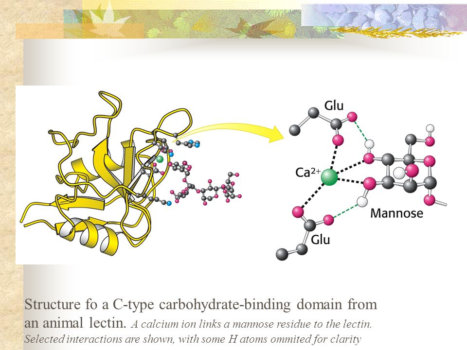 Structure fo a C-type carbohydrate-binding domain from an animal lectin.