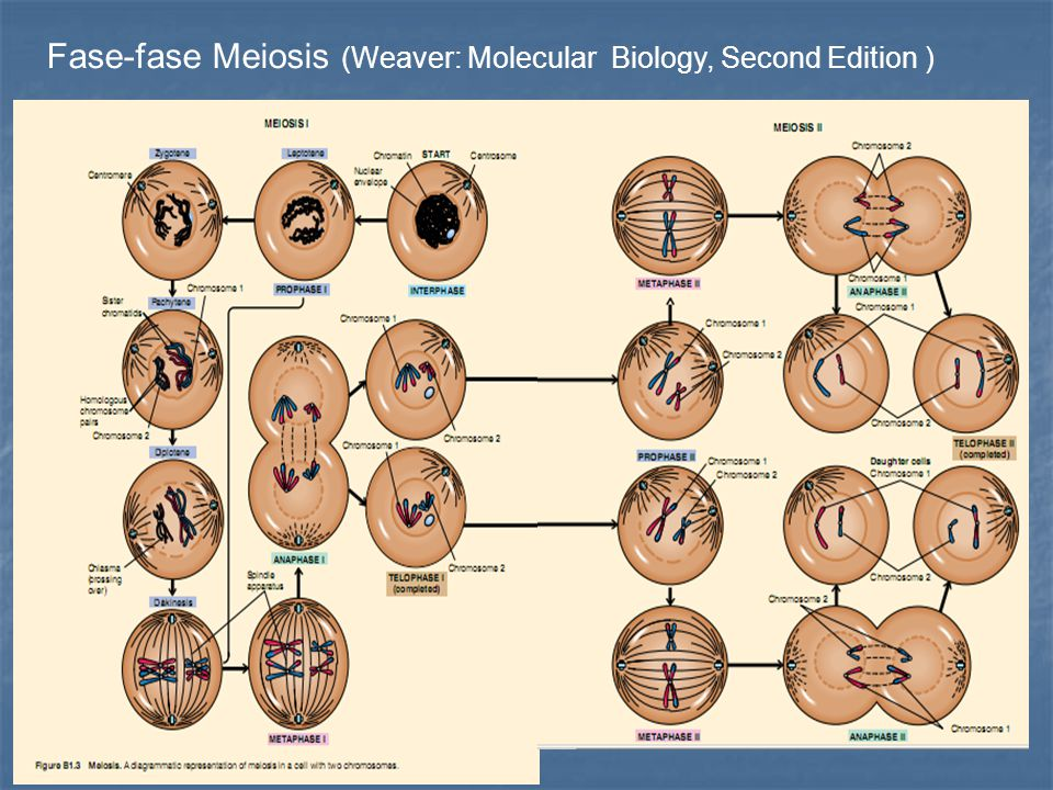 Fase-fase Meiosis (Weaver: Molecular Biology, Second Edition )