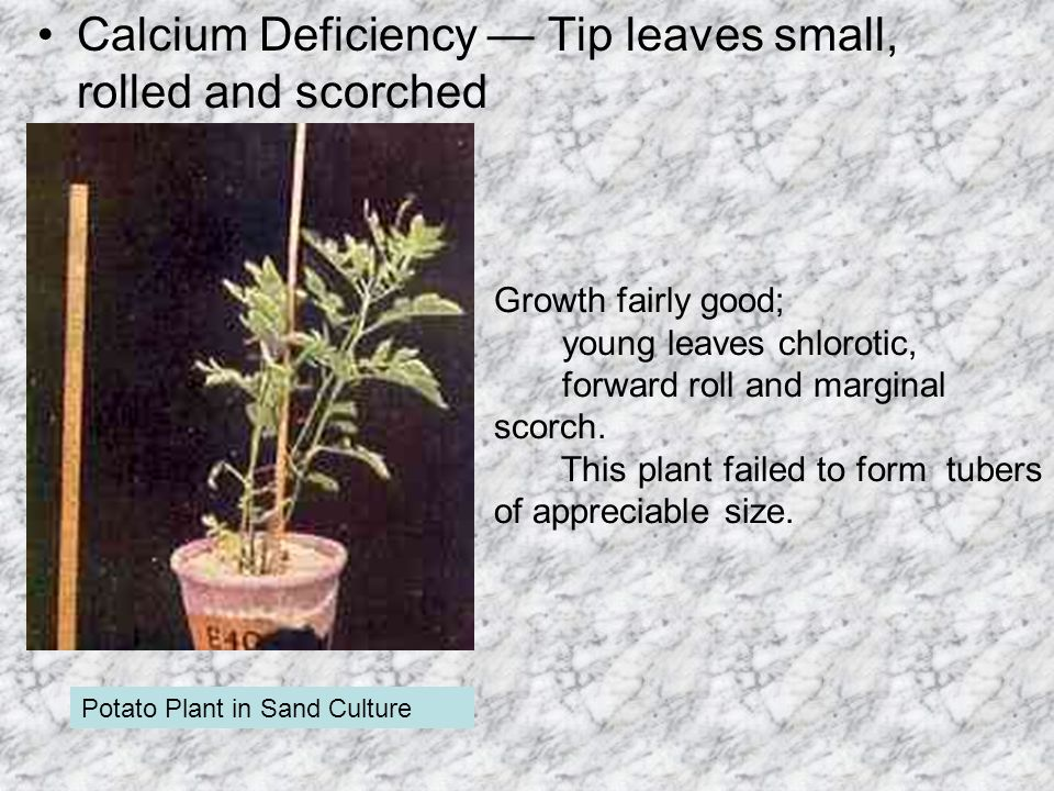 Calcium Deficiency — Tip leaves small, rolled and scorched