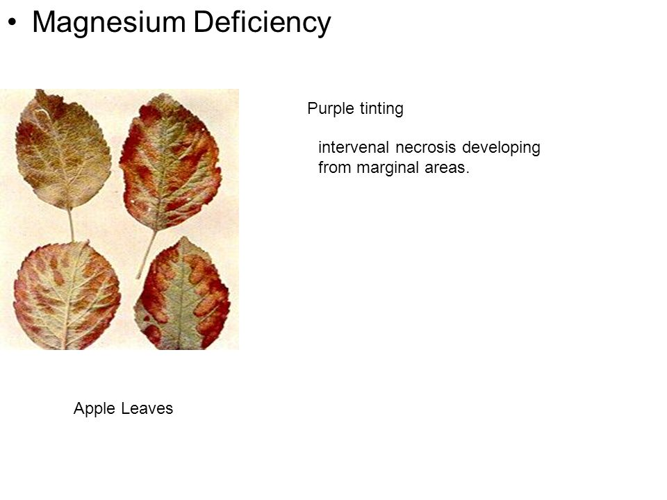 Magnesium Deficiency Purple tinting