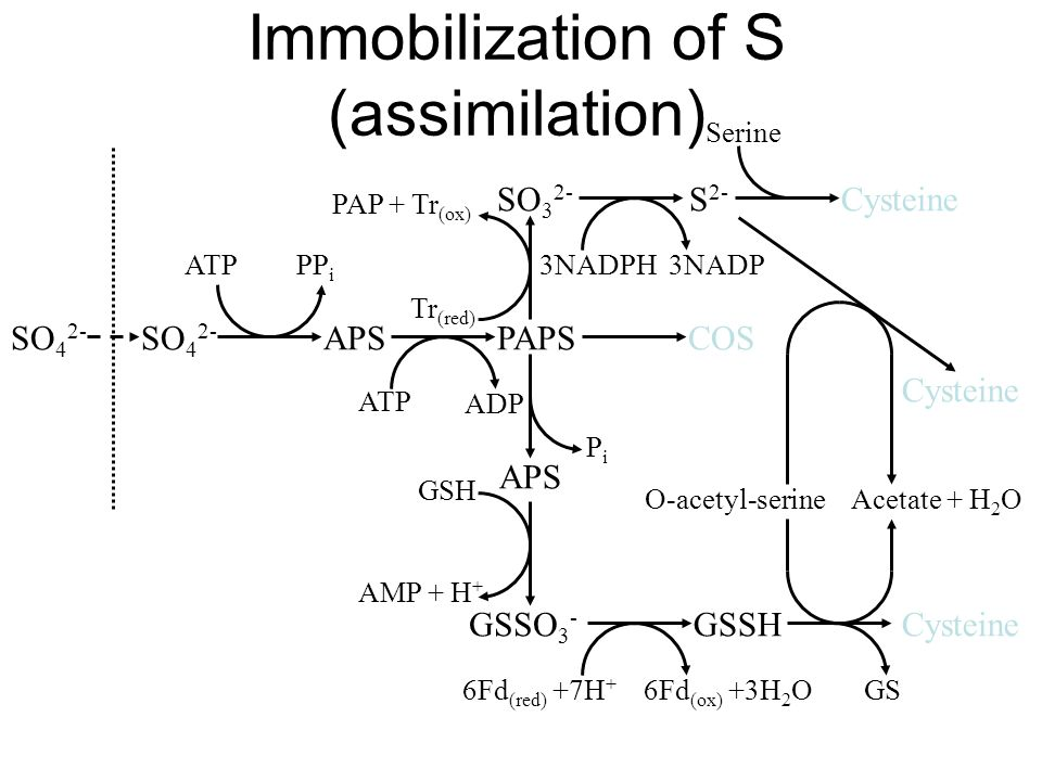 Immobilization of S (assimilation)