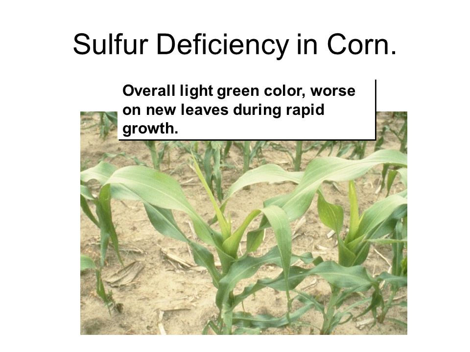 Sulfur Deficiency in Corn.