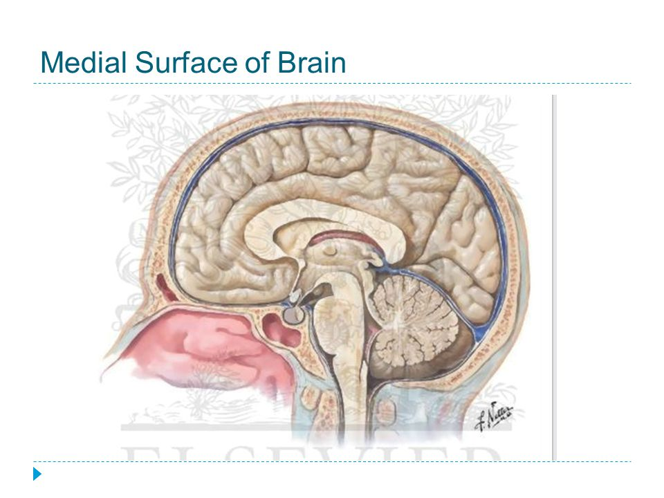 Medial Surface of Brain