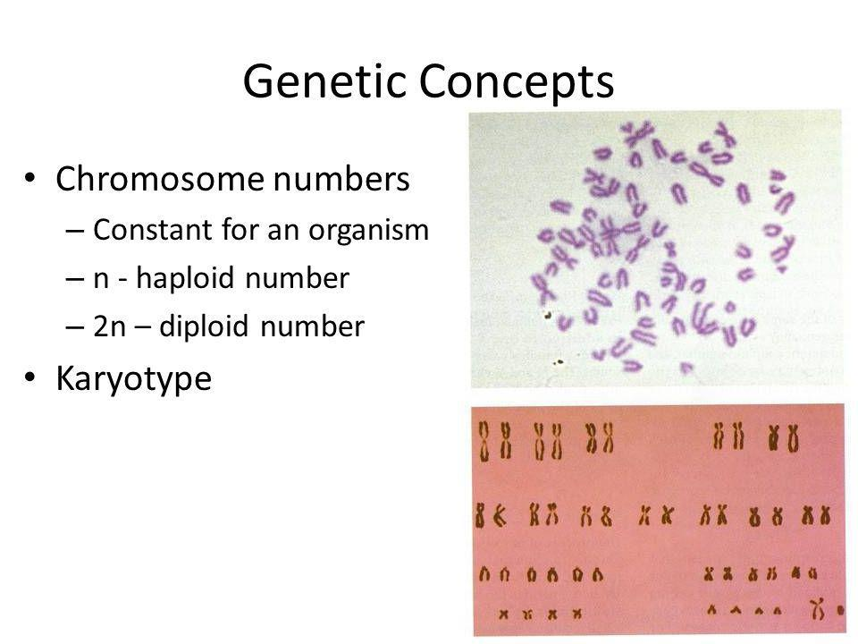 Genetic Concepts Chromosome numbers Karyotype Constant for an organism