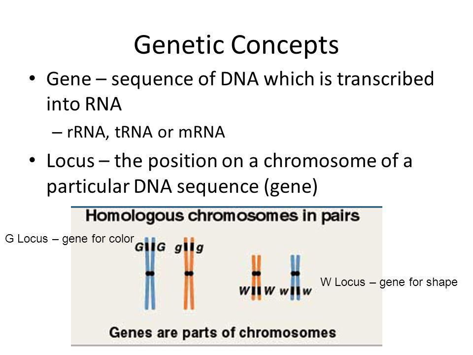 Genetic Concepts Gene – sequence of DNA which is transcribed into RNA