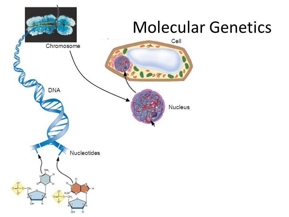 Molecular Genetics Cell Chromosome DNA Nucleus Nucleotides
