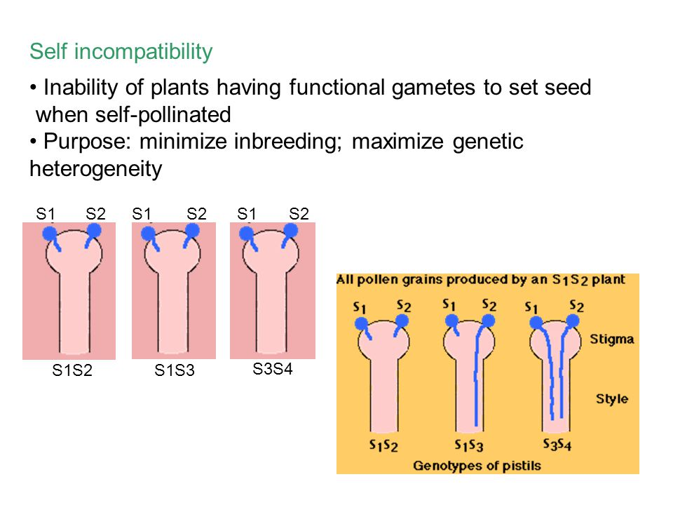 • Inability of plants having functional gametes to set seed