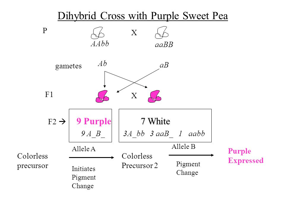 Dihybrid Cross with Purple Sweet Pea