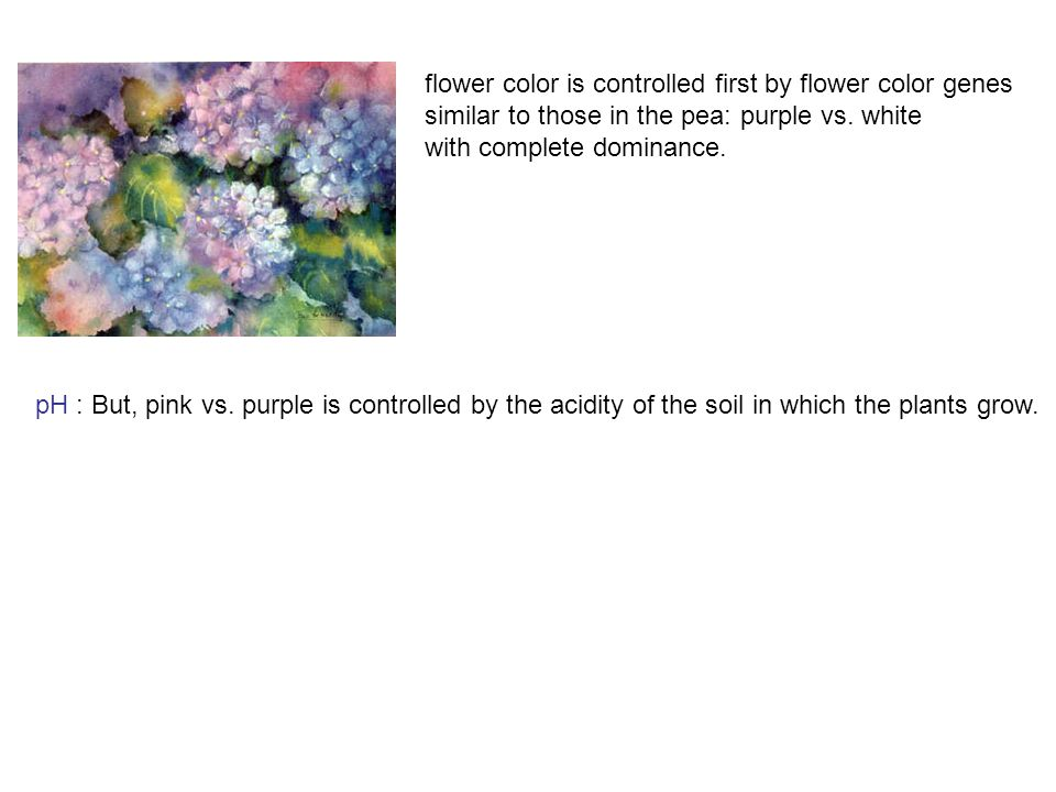 flower color is controlled first by flower color genes