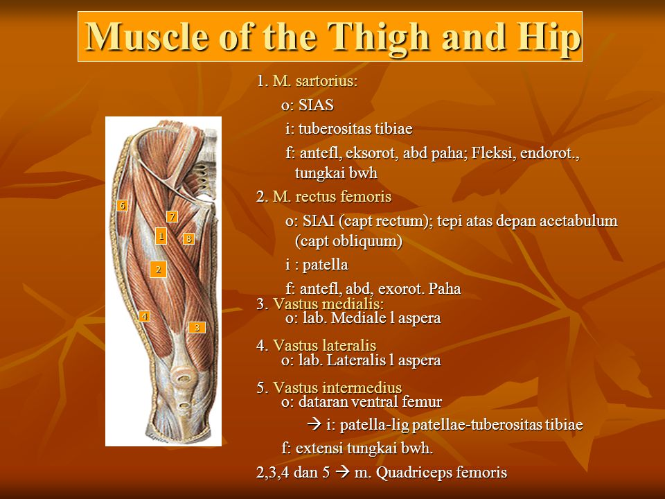 Muscle of the Thigh and Hip
