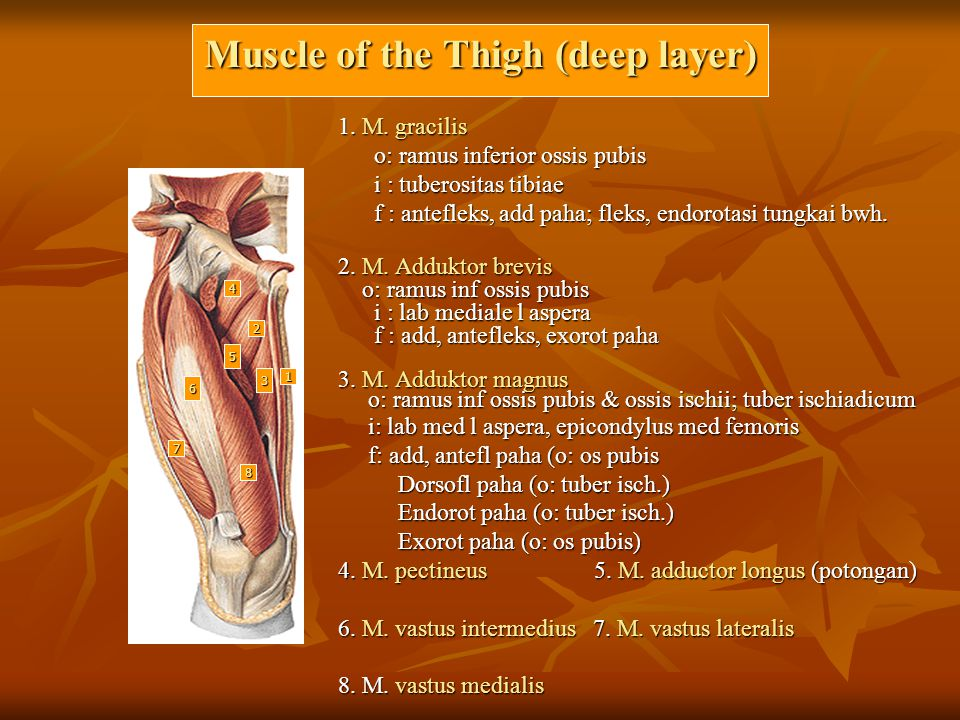 Muscle of the Thigh (deep layer)