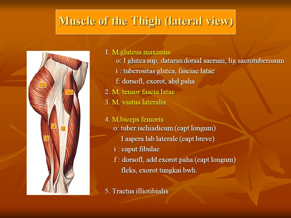 Muscle of the Thigh (lateral view)