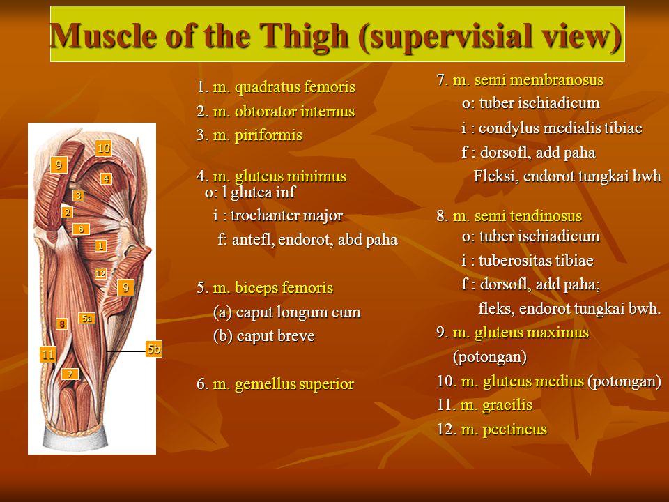 Muscle of the Thigh (supervisial view)