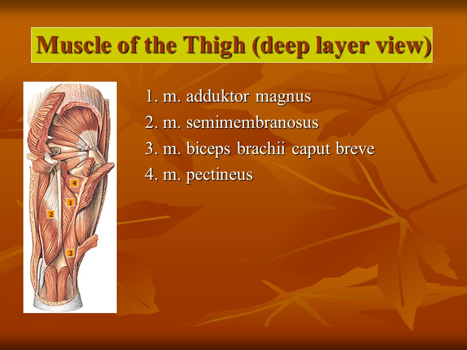 Muscle of the Thigh (deep layer view)