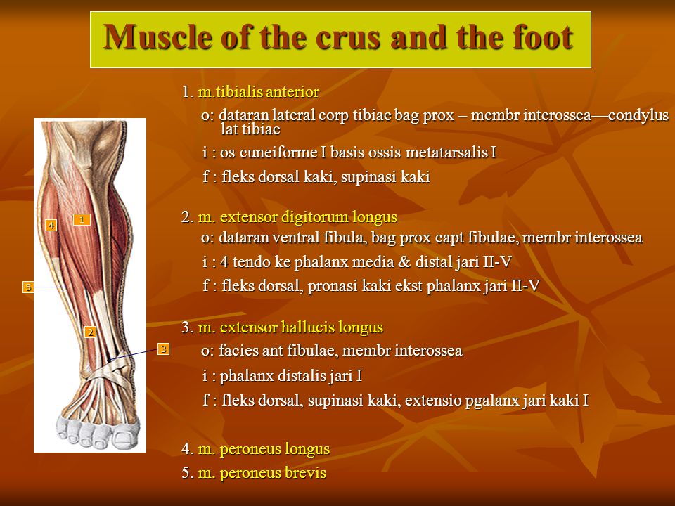 Muscle of the crus and the foot
