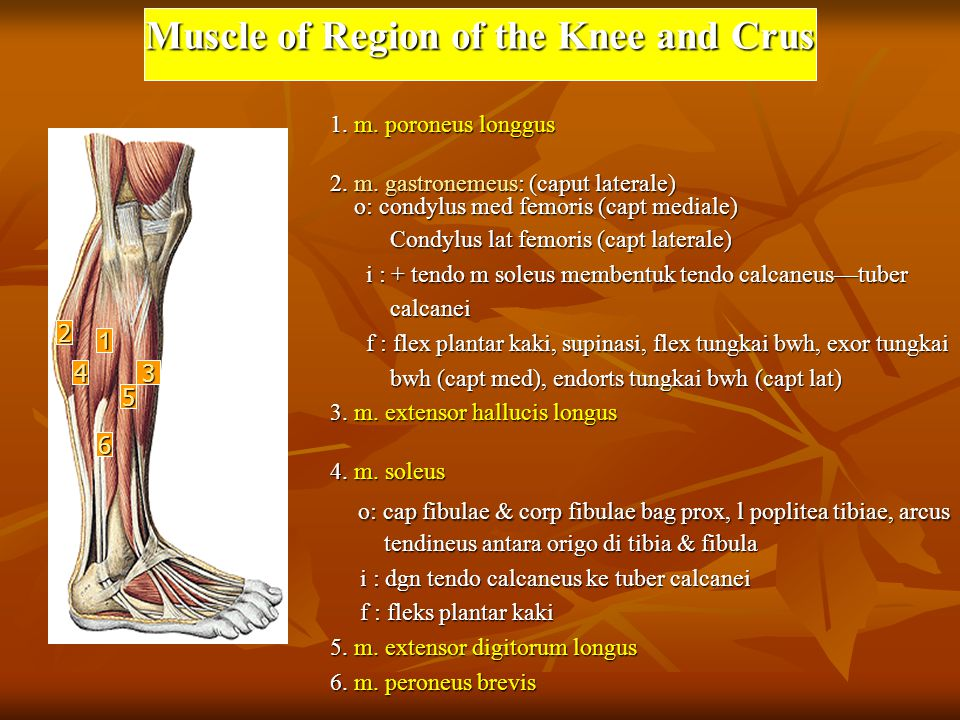 Muscle of Region of the Knee and Crus