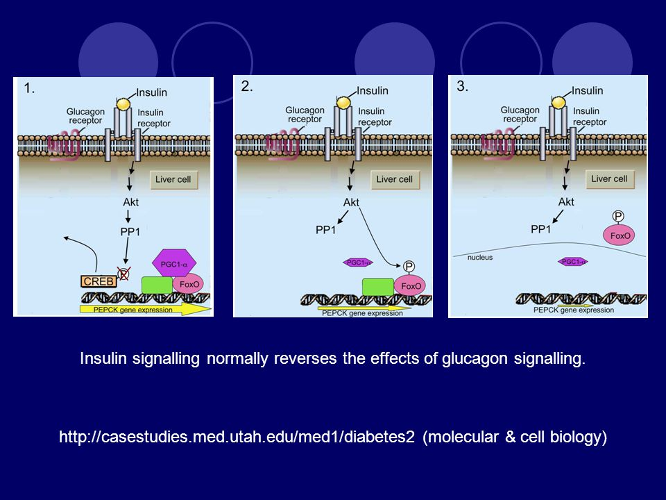 Insulin signalling normally reverses the effects of glucagon signalling.
