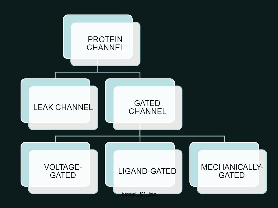 biosel_S1_bio PROTEIN CHANNEL LEAK CHANNEL GATED CHANNEL VOLTAGE-GATED