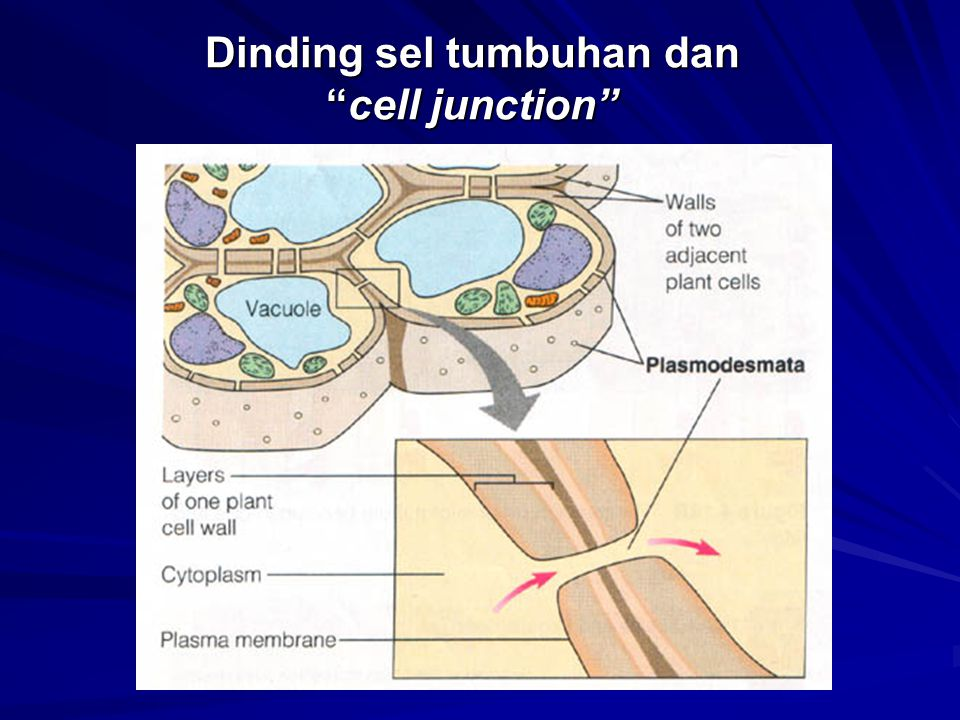 Dinding sel tumbuhan dan cell junction