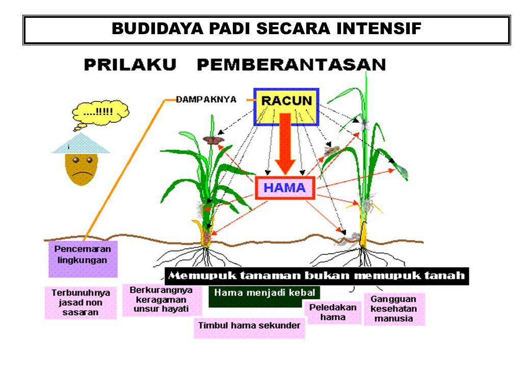 Pengelolaan agroekosistem sawah ppt download 19 budidaya padi secara intensif ccuart Images
