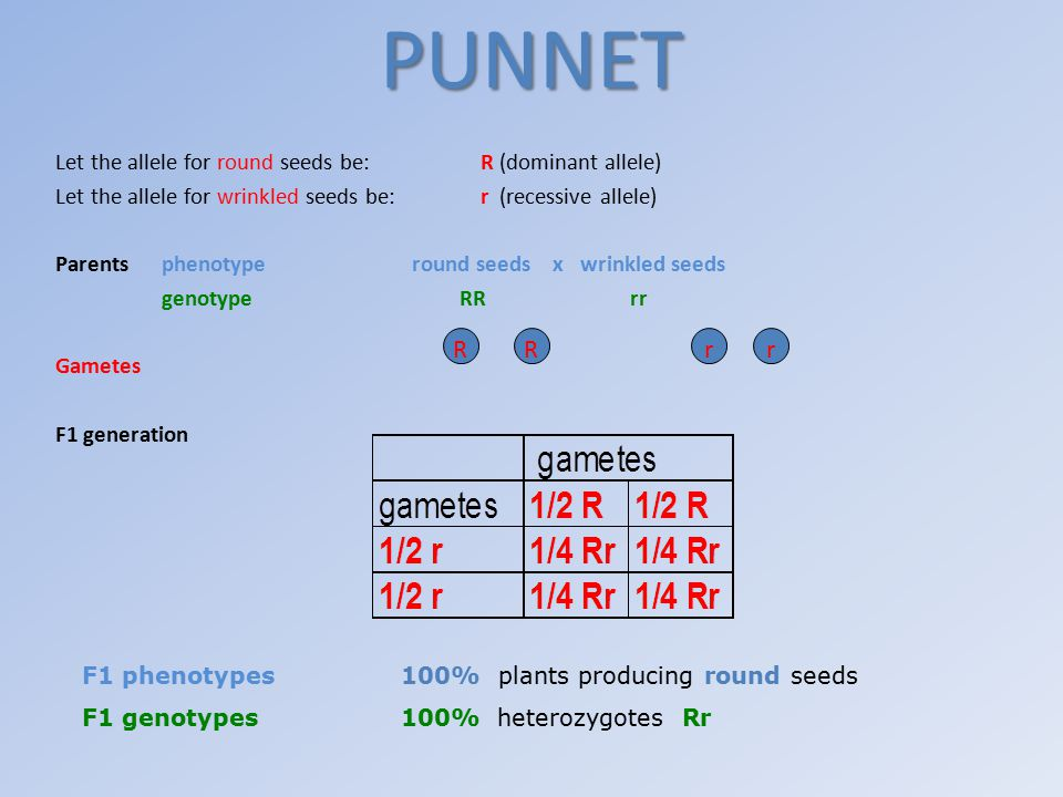 PUNNET R R r r Let the allele for round seeds be: R (dominant allele)