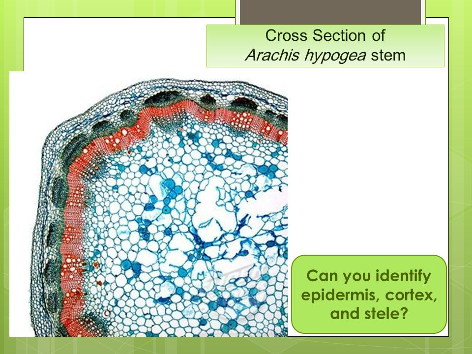 Cross Section of Arachis hypogea stem
