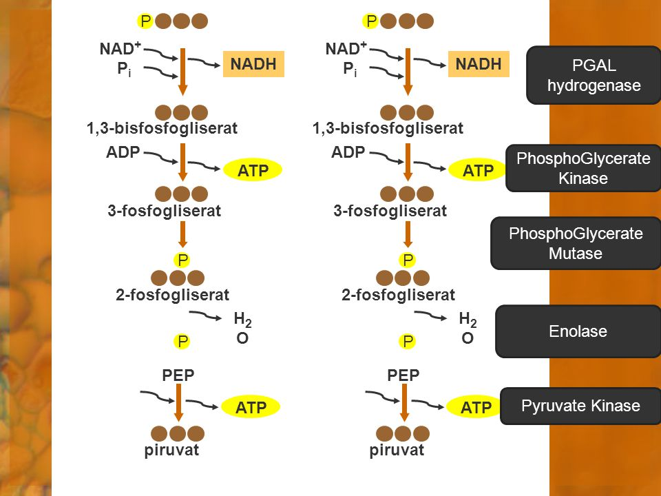 PhosphoGlycerate Kinase ATP ATP